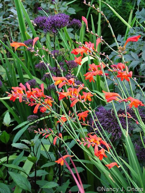 42 best Crocosmia images on Pinterest Garden plants Plants and
