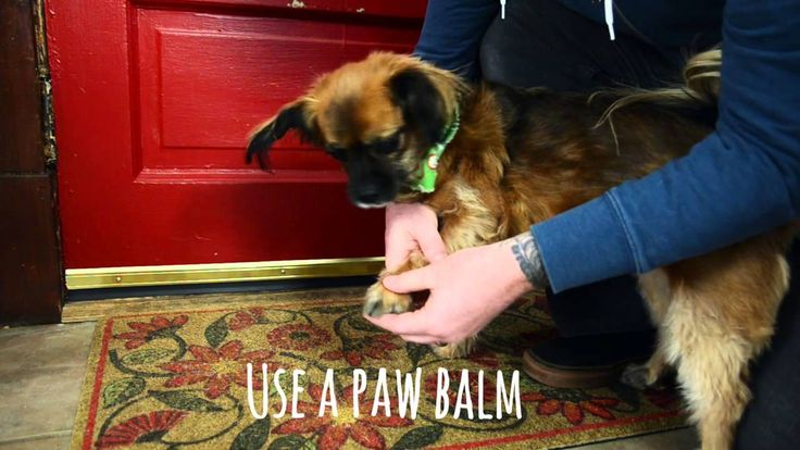 Winter can leave dogs with cracked and injured pads, but you can treat them with a paw balm from your pet store. To keep your buddy from licking the balm right off, try distracting him with a treat or puzzle feeder. #Tip #Video #PetCare
