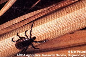 wildlife  Deer tick  Deer ticks, also known as blacklegged ticks, are just one of thirteen known tick species in Minnesota. They are most common in the east and central areas of the state and are found in hardwood forests and wooded and brushy areas. Deer ticks are potential carriers of Lyme disease,