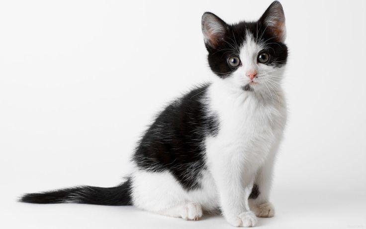 обои Любопытный черно-белый котенок фото