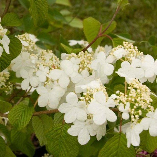 Viorne, Viburnum Plicatum Summer Snow Flake