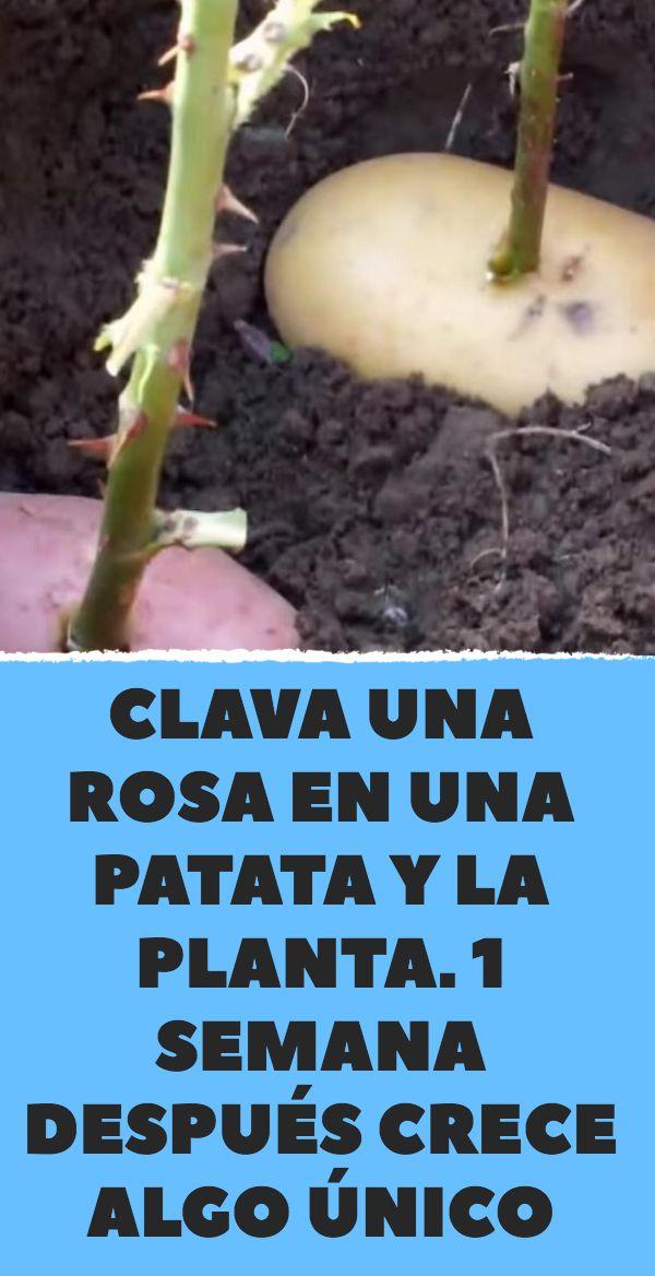 Clava una rosa en una patata y la planta. 1 semana después crece algo único