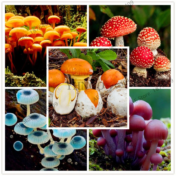 100pcs/bag Mushroom Seeds Succlent Plant Edible Ornamental Vegetable Mushroom Seeds For home and garden Free Shipping #Affiliate