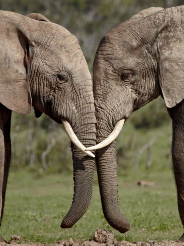 Two African Elephant (Loxodonta Africana) Face to Face, Addo Elephant National Park, South Africa