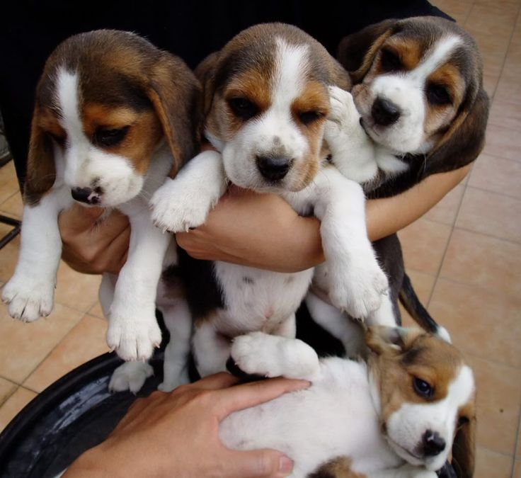 Beagle Puppies  -  An armful of Beagle puppies . . . it just doesn't get better than that!