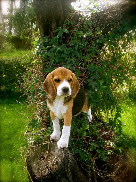every garden needs a beagle -- yep, who else is going to chase off the cats and squirrels and dig holes big enough for new trees?