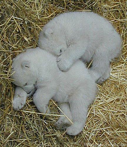 baby polar bears asleep |