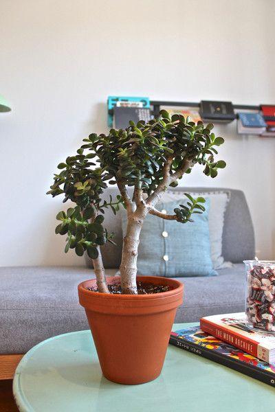 Crassula Minima en bonsaï