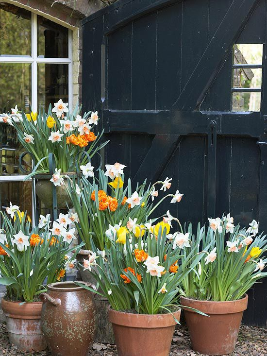 Terra-cotta pots partner perfectly with 'Orange Princess' and 'Yokohama' tulips and 'Accent' narcissus with its peach-color cup. Terra-cotta drains well -- a must for most bulbs.    Test Garden Tip: Place the pots at different heights to create a display with impact.