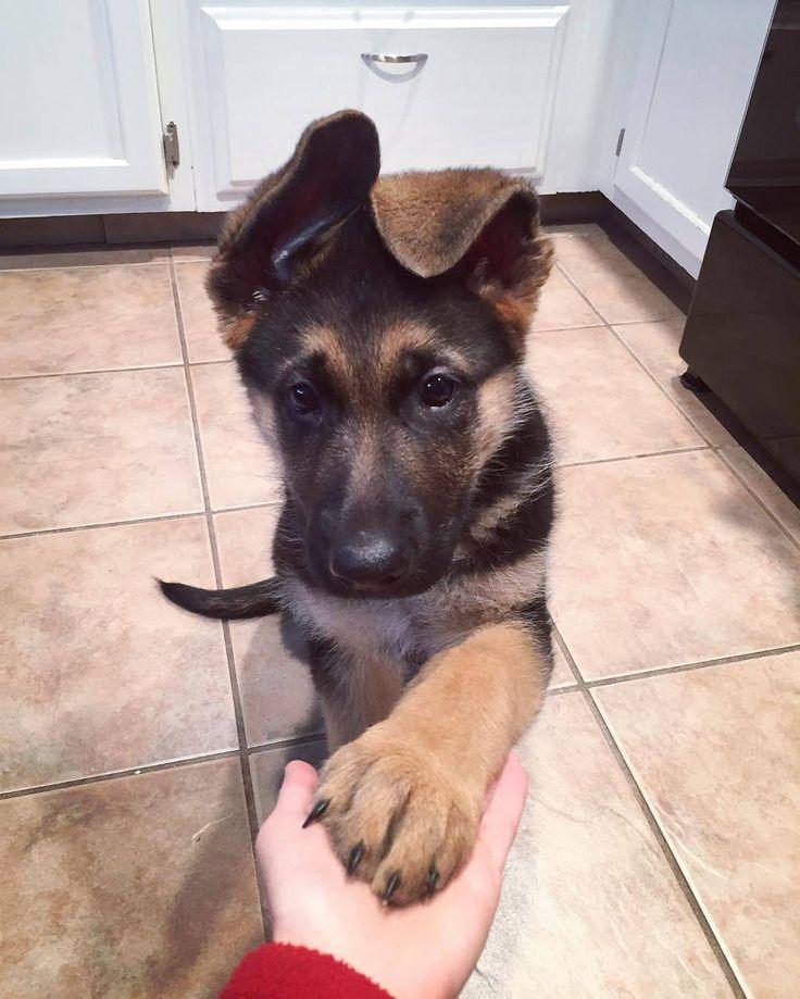 "20.7 ezer kedvelés, 202 hozzászólás – The German Shepherd Dog (GSD) (@gsdstagram) Instagram-hozzászólása: ""Okay mom, here is my paw. Now where is my treat?   Follow Theo  @theo.the.gsd  Use #gsdstagram…"""