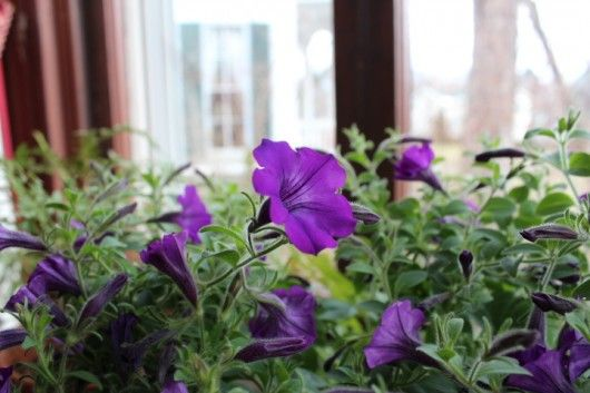 how to take cuttings from petunias