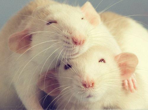 Rats !
