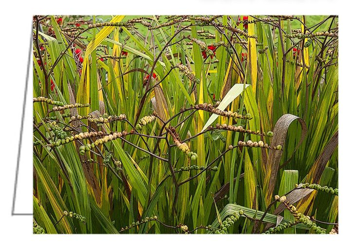 """Crocosmia 'Lucifer' at Waterperry Gardens, UK - Greeting Card. 5"""" x 7"""". Blank inside. Includes envelope. Buy online at Rob's Cards and Prints."""