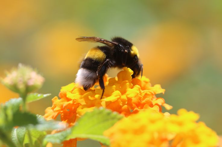 Honungsbi söker nektar