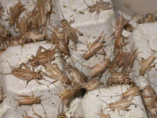 raise crickets for feeding -they like dry oatmeal and raw sweet potatoes, pattypan squash