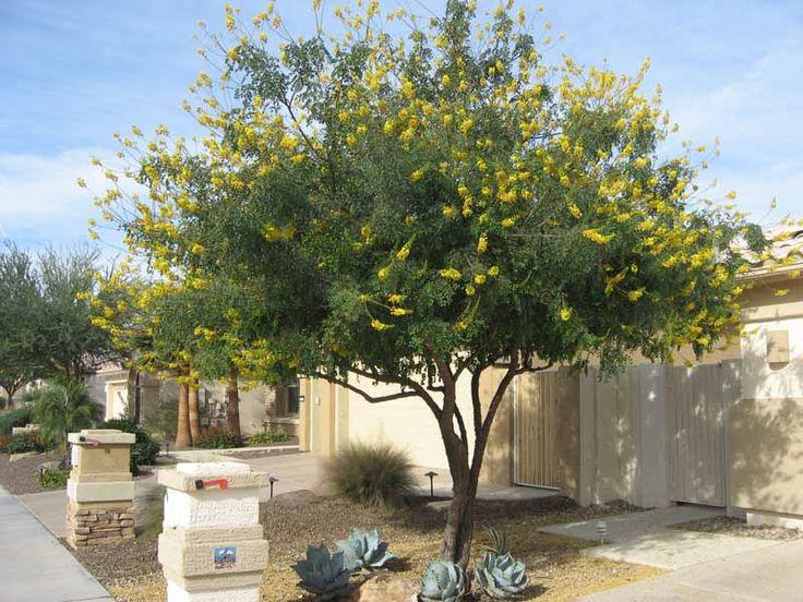 Arizona Trees Kevens Landscape Co Arizona Gardening
