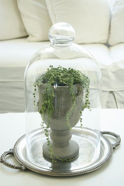 This plant is called strands of pearls. I have quite a few of these bell jars... think I may have to try this.