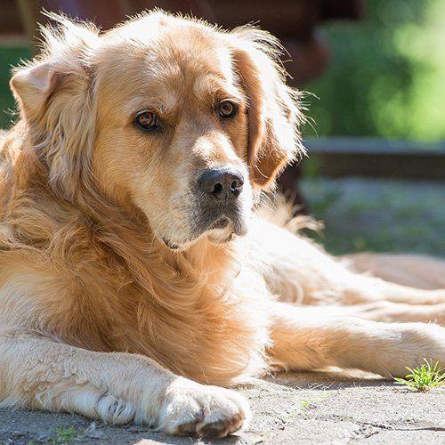 GOLDEN-RETRIEVER - Corridas de cães mais inteligentes. Originalmente proveniente da Escócia, a raça Golden-Retriever foi iniciada em 1865 a partir de um cachorrinho amarelo solitário em uma ninhada de retrievers com ondulações pretas e cruzadas com um cachorrito de água local,  Lord Tweedmouth, de Guisachan,  na Escócia. Este cachorro lindo e amigável ainda se destaca na recuperação, bem como na agilidade e obediência, E como cães de serviço .