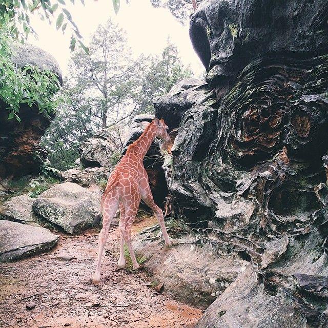 Lovely Forest Garden, Tree Forest, Shawnee National Forest, Giraffe, Travel List,  Illinois, Woodland Garden, Giraffes