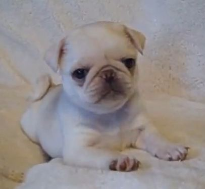 White Pug puppy loves to play (VIDEO) » DogHeirs | Where Dogs Are Family « Keywords: Pug, Puppy