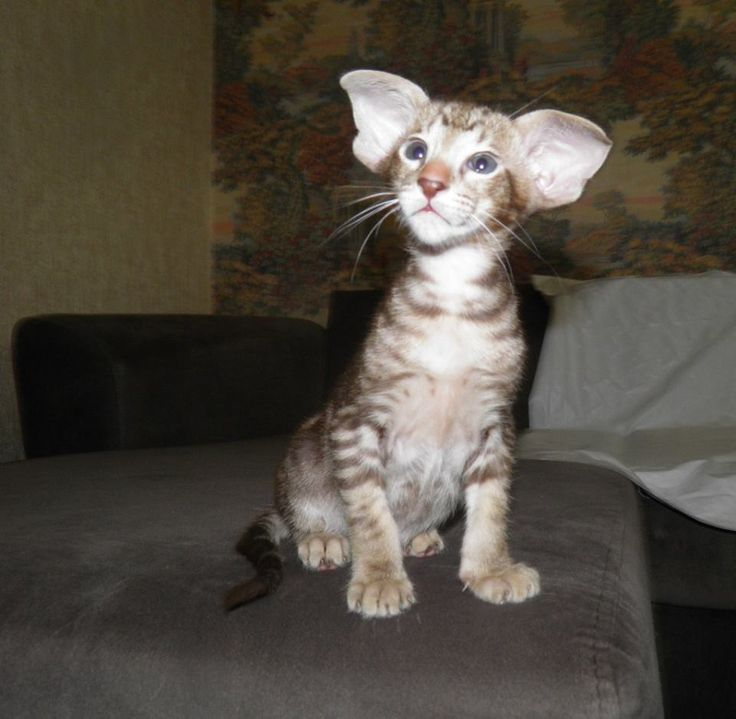 Oriental Shorthair Oriental Kitten Golden Orion George Beautiful Color Chocolate Classic Tabby