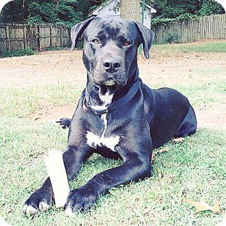 Dallas, GA - Labrador Retriever/Great Dane Mix. Meet George, a dog for adoption…