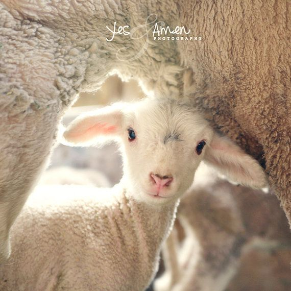 Hey, I found this really awesome Etsy listing at https://www.etsy.com/listing/73330903/treasured-fine-lamb-cards-and-so-farm