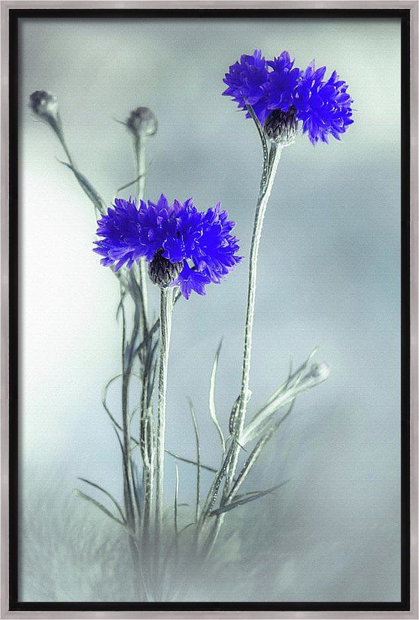 Canvas Print featuring the photograph Summer Blues by Larysa Koryakina. Available in many sizes and in Acrylic, Metal, Canvas, Framed and Standard Print. Also as a Greeting Card.