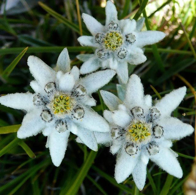 Edelweiss a short story 1 shorts past life and for Flowers that mean life