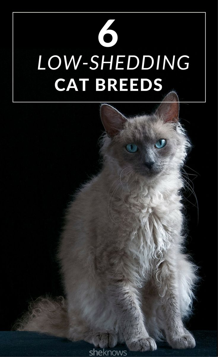 6 low-shedding cat breeds that your black clothing will thank you for.
