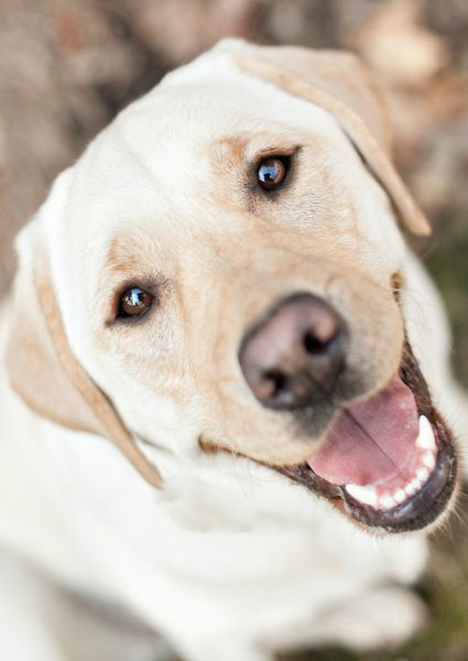 Happy Yellow Labrador