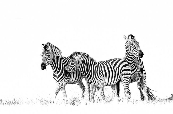 Black and white printed image of zebras by wildlife photographer Dave Hamman