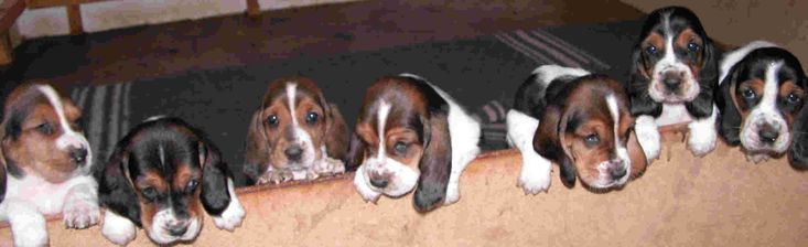 There's nothing cuter than a basset hound puppy