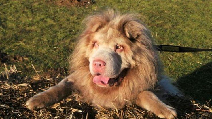 cane-che-somiglia-ad-un-leone-3.jpg (1000×563)