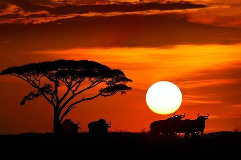 Силуэты слонов и буйволов, стоящих на траве возле одинокого дерева на фоне ярко светящегося солнечного диска и багряного заката, фотография Николая Зиновьева