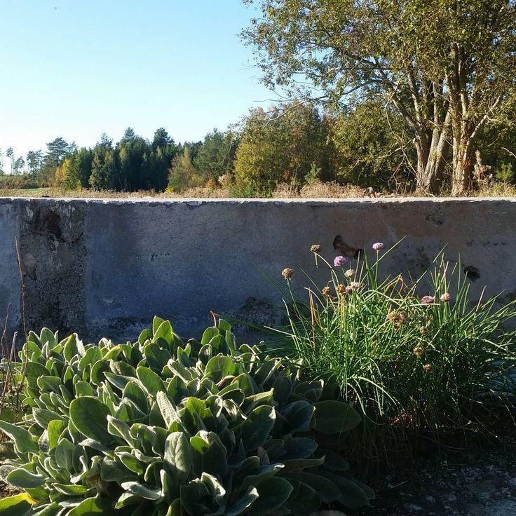 Fantastiskt oktoberväder på vår uteplats vid magasinet. Lammöronen 'big ears' har vuxit till sig väldigt fint sedan i våras och gräslöken bjuder på en sista blomning innan vintervilan. Ljuvligt tycker vi. | At our store terrace. Simply loving it. #enstromblom #keramik #handgjord #uteplats #växter #grönt #trädgård #naturtomt #betong #ceramics #handmade #green #plants #garden #terrace #concrete #sweden