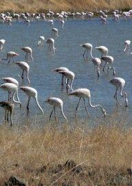 Flamingo's in salt pans between Agia Paraskevi and Kaloni | Lesvos  lesbos-eiland.webs.com  lesvosgreece.gr