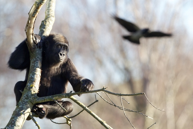 Kafi arrived to the Gorilla Rainforest and the team began the careful process of introducing her to the troop of five gorillas.