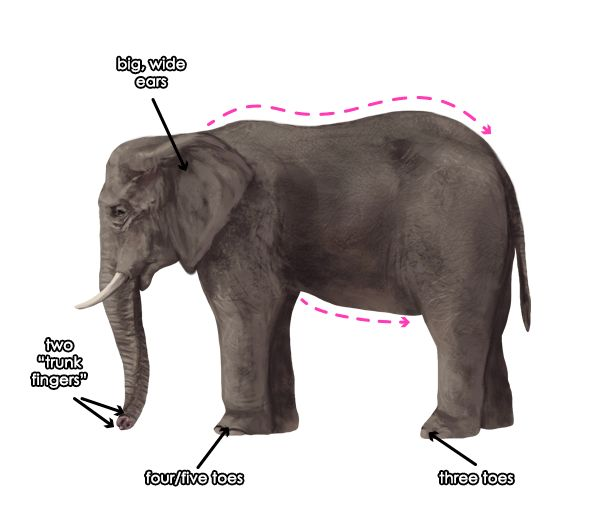 howtodrawelephants-1-3-african-elephant-features.png (600×532)