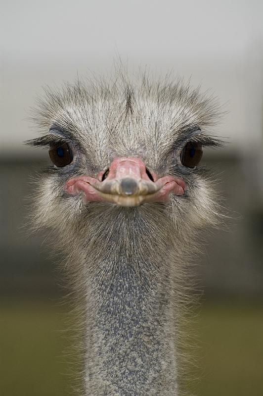 Best 25 Ostriches Ideas On Pinterest Elephants Baby