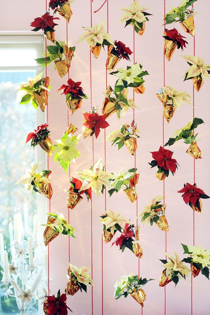 #Poinsettia #Kerstster #Plant #Christmas #Kerst
