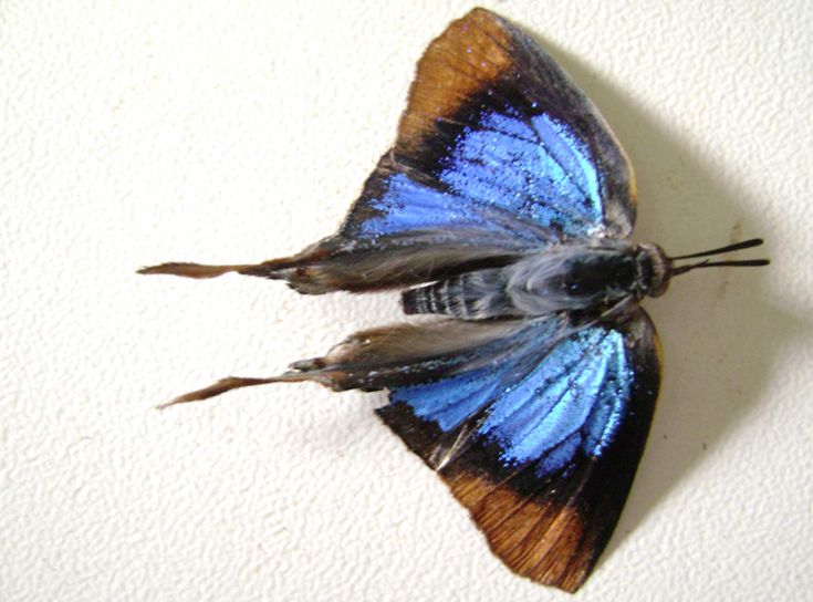 Blue butterfly South Africa