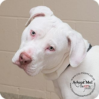 URGENT!  I am at a kill shelter in Troy, OH - Pit Bull Terrier Mix. Meet Hootie, a puppy for adoption. http://www.adoptapet.com/pet/12515719-troy-ohio-pit-bull-terrier-mix