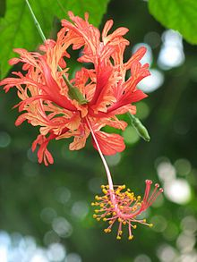 Hibiscus schizopetalus is a species of Hibiscus native to tropical eastern Africa in Kenya, Tanzania and Mozambique. Its common names include fringed rosemallow, Japanese lantern, coral hibiscus, and spider hibiscus.