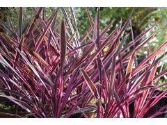 """Cordyline australis """" Pink Passion """" - dračinka australská Zahradnictví Krulichovi - zahradnictví, květinářství, trvalky, skalničky, bylinky a koření"""