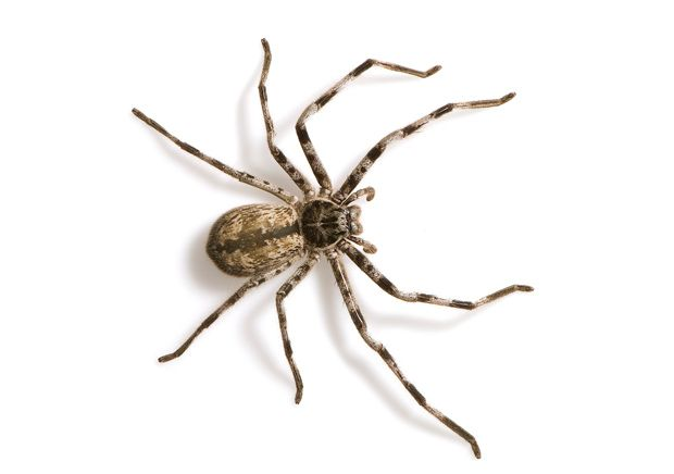 Huntsman spider, the deadliest in Australia. It has hardly and venom, but they are huge, and get in your car and jump out at you on the highway, causing accidents!