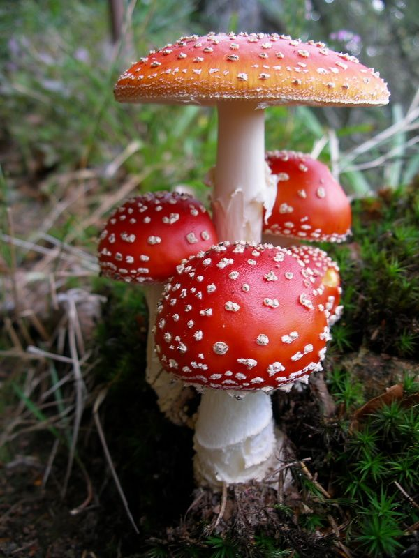 Fly Agaric (Amanita muscaria) ~ By zierfritz