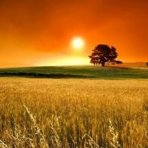 Sunset over a field of wheat-Kansas. Turkey Red Winter Wheat was brought to Kansas by the Russian Mennonites who settled in the Pawnee Rock, KS area.