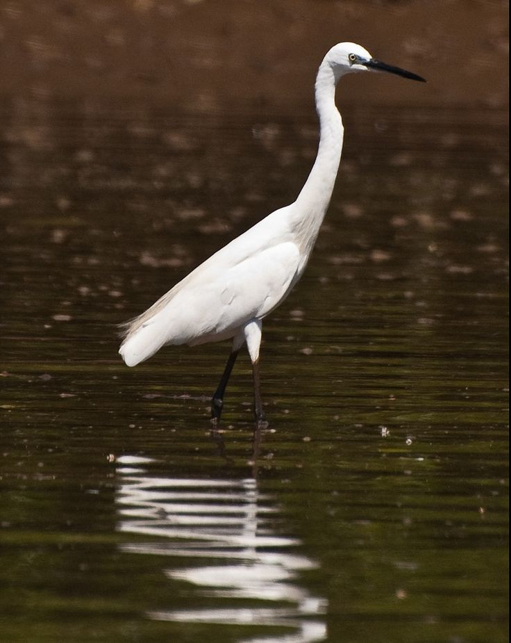 Great Egret at Dr. Salim Ali Bird Sanctuary, #Goa