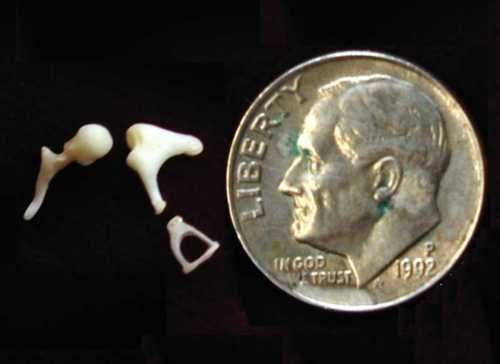 The three bones (malleus, incus, and stapes) that make up the middle ear in comparison to a dime.